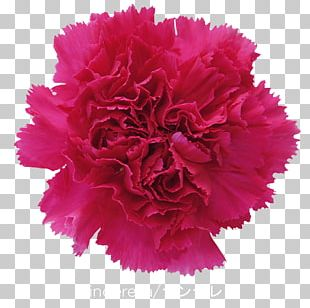 Carnation Cut Flowers Gift Pink PNG