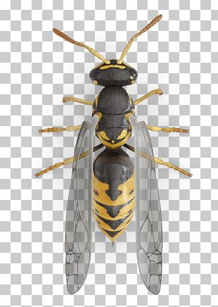 Western Honey Bee Hornet Yellowjacket Characteristics Of Common Wasps And Bees PNG