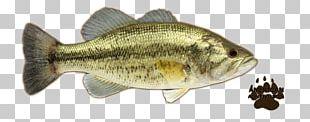 Perch Largemouth Bass Smallmouth Bass Portable Network Graphics PNG