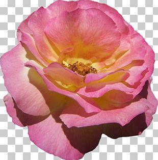 Floribunda Cabbage Rose Garden Roses French Rose China Rose PNG