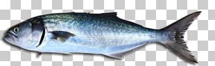 Bluefish Fishing Stavis Seafoods Stock Photography PNG