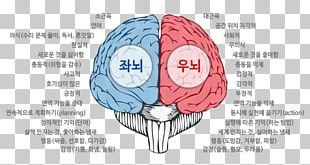 Brain Agy Cerebrum Neurology Cerebellum PNG
