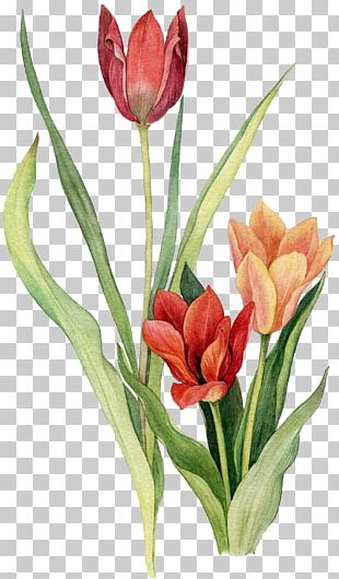 Tulip Flower Watercolor Painting Drawing PNG