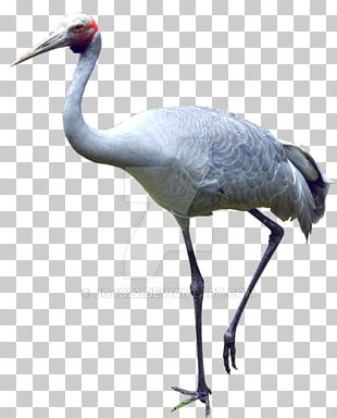 Fauna Water Bird Neck Beak PNG