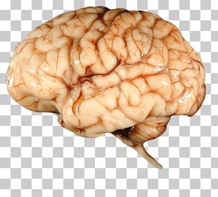 Real Brain PNG
