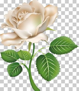White Rose PNG