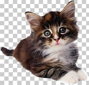 Sphynx Cat Cheetoh Kitten Felidae PNG