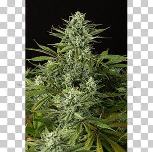 Cannabidiol Medical Cannabis Cannabis Sativa Autoflowering Cannabis PNG