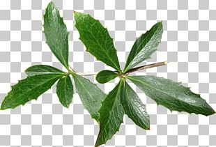 Leaf Tree Herb PNG