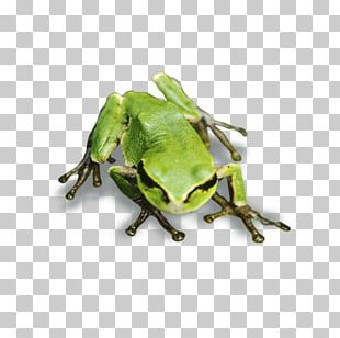 Tree Frog True Frog PNG