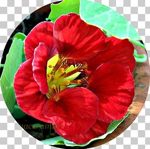 Annual Plant Herbaceous Plant Flowering Plant PNG