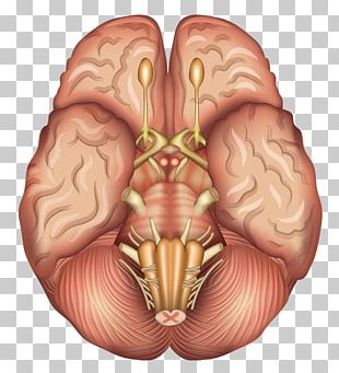 Human Brain Anatomy Sagittal Plane Pituitary Gland PNG