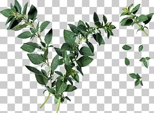 Oregano Leaf Herb Plant Identification PNG