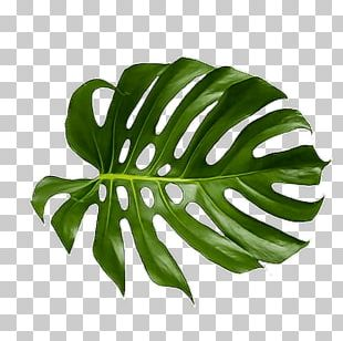 Leaf Swiss Cheese Plant Palm Branch Art Tropics PNG