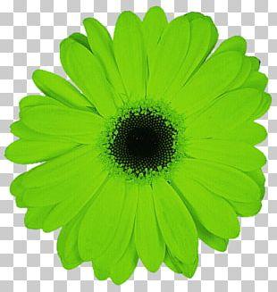 Transvaal Daisy Daisy Family Green Flower Common Daisy PNG