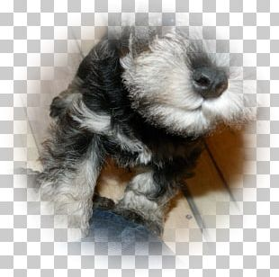 Miniature Schnauzer Schnoodle Puppy Dog Breed PNG