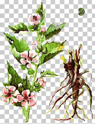 Одолень-трава Medicinal Plants Marsh Mallow PNG