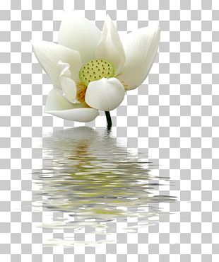 Nelumbo Nucifera Flower Egyptian Lotus PNG