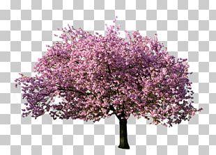 Tree Magnolia PNG