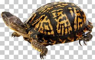 Terrapene Eastern Box Turtle Tortoise Sea Turtle PNG
