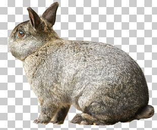 Domestic Rabbit European Hare Chase Bank PNG