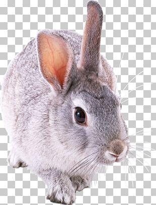 Holland Lop Rex Rabbit Tan Rabbit Domestic Rabbit Netherland Dwarf Rabbit PNG