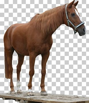 American Quarter Horse Arabian Horse Mustang Stallion Andalusian Horse PNG