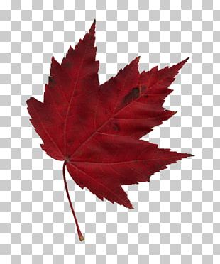 Japanese Maple Maple Leaf Autumn PNG