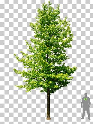 American Sweetgum Acer Ginnala Tree Plant Autumn Leaf Color PNG