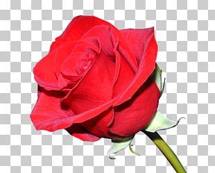 T-shirt Damask Rose Flower Floral Design Garden Roses PNG