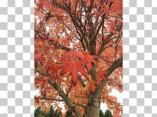 Maple Leaf Sugar Maple Tree Nursery Deciduous PNG