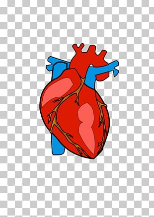 Heart Anatomy PNG