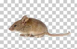 Rodent House Mouse Brown Rat Stock Photography PNG