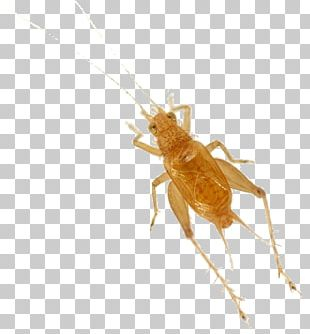 Cricket Fighting Insect Cricket Bats Xenogryllus Marmoratus PNG