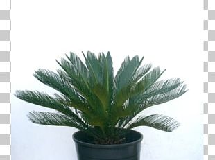Arecaceae Flowerpot Houseplant Agave INAV DBX MSCI AC WORLD SF PNG