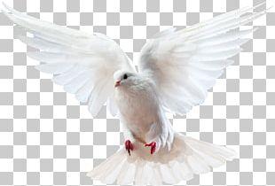 Columbidae Bird Doves As Symbols Domestic Pigeon PNG