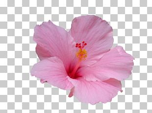 Hawaiian Hibiscus Flower Hawaiian Hibiscus Plant Stem PNG