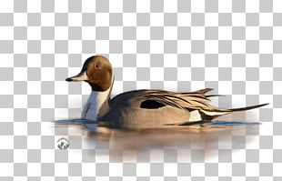 Mallard Duck Painting Beak PNG