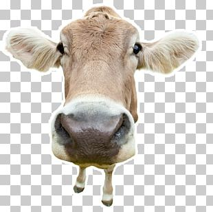 Holstein Friesian Cattle Angus Cattle Stock Photography Cow Hoof Dairy Cattle PNG