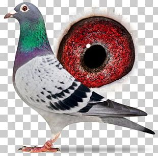 Racing Homer Columbidae Homing Pigeon Homer Simpson Pigeon Racing PNG