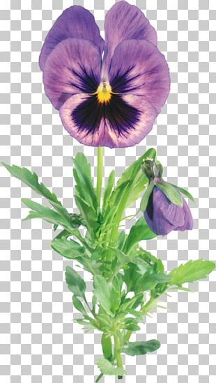 Pansy Flower Garden PNG