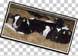 Dairy Cattle Calf Dairy Products PNG