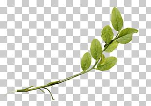 Twig Plant Stem Leaf Herb PNG