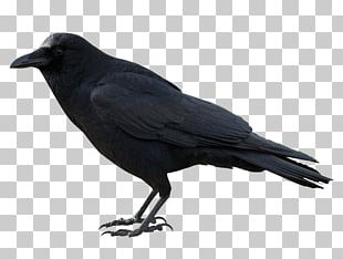 American Crow Rook New Caledonian Crow PNG