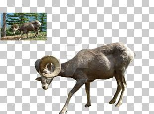 Bighorn Sheep Argali Goat Cattle PNG