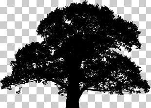 English Oak Tree Sessile Oak Plant PNG