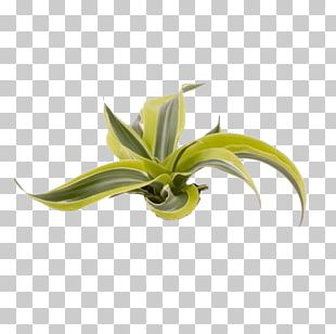 Dracaena Fragrans Dragon Tree Plant Stem Embryophyta PNG
