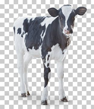 Calf Angus Cattle Milk Dairy Cattle PNG