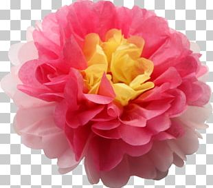Cabbage Rose Pom-pom Pink Yellow Flower PNG