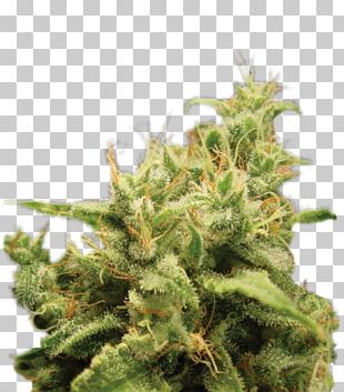 Cannabis Cup Seed Bank Cannabis Sativa PNG
